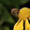 Le paradoxe de la ruche: des individus faibles pour une colonie forte